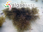 Neorhodomela aculeata (Perestenko) Masuda