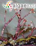 Arthrocardia cretacea (Postels & Ruprecht) Weber Bosse