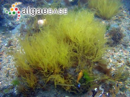 Palmaria stenogona Perestenko, Peter the Great Bay, Sea of Japan, Russia