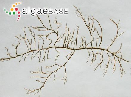Dasyclonium cuneifolium (Montagne) Scagel