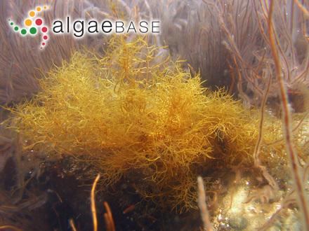 Polyzonia cuneifolium Montagne