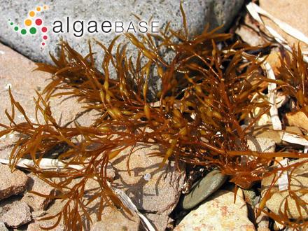 Euzoniella cuneifolia (Montagne) Falkenberg