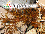 Cystoseira crassipes (Mertens ex Turner) C.Agardh