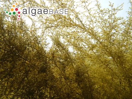 Vidalia serrata (Suhr) J.Agardh