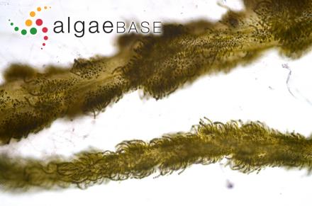 Polysiphonia amphibolis Womersley