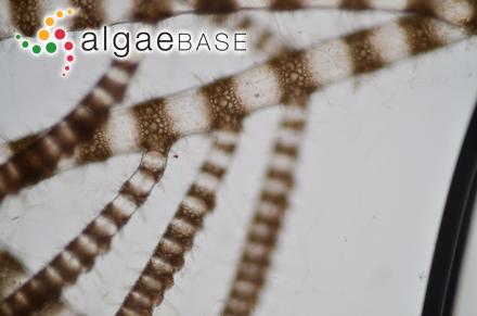 Polysiphonia caespitosa (Pocock) Hollenberg