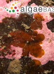 Cutleria multifida (Turner) Greville