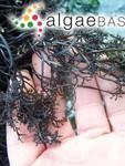 Chondracanthus canaliculatus (Harvey) Guiry