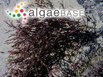 Ahnfeltia fastigiata (Endlicher) Makienko