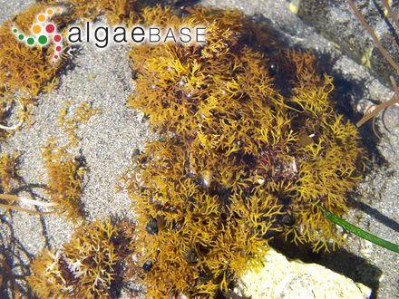 Callophyllis fabriciana (Lyngbye) Kützing
