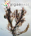 Besa leptophylla (J.Agardh) M.S.Calderon & K.A.Miller