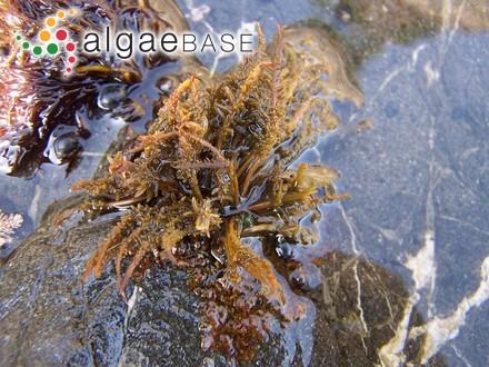 Hydrolapatha corymbosa (J.Agardh) Kuntze