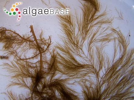 Hydrolapatha angustissima (Turner) Kuntze