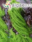 Acrosiphonia coalita (Ruprecht) Scagel, Garbary, Golden & M.W.Hawkes