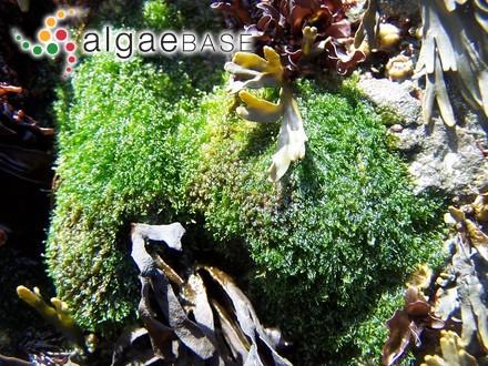 Pylaiella littoralis var. firma (C.Agardh) Kjellman
