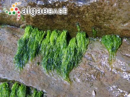 Acanthoceras transcurrens Kützing