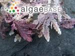 Amphiroa orbigniana Decaisne
