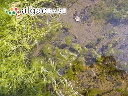 Rhodomela subfusca (Woodward) C.Agardh