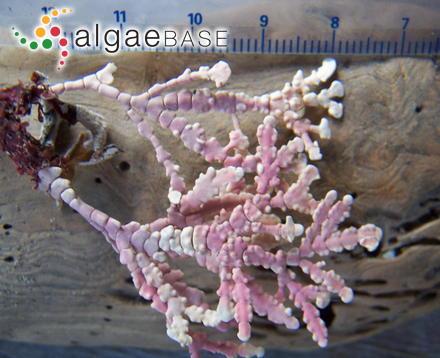 Ochlochaete phaeophila Falkenberg
