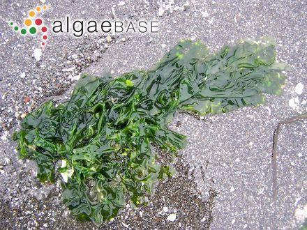 Cladophora meneghiniana (Kützing) Kützing