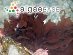 Sarcophyllis californica J.Agardh