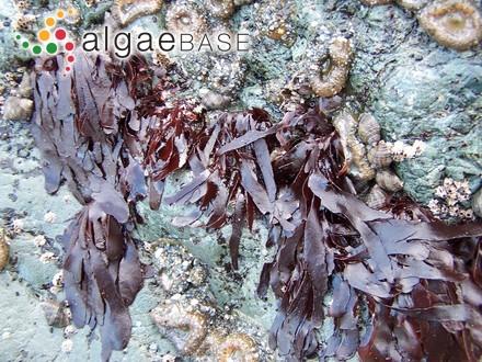 Rhododermis elegans f. polystromatica Batters