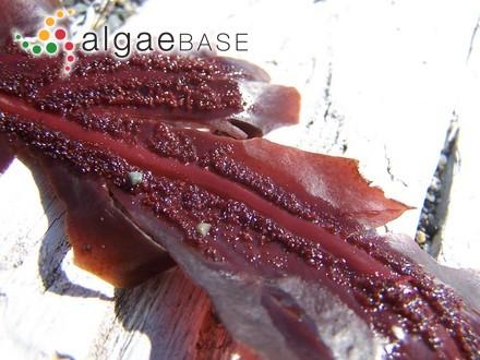 Rhodymenia pseudopalmata var. ellisiae (Duby) Guiry