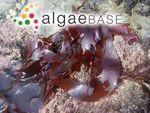 Halymenia schizymenioides Hollenberg & I.A.Abbott