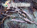 Lithophyllum dispar (Foslie) Foslie