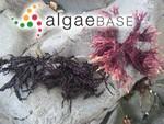 Mastocarpus jardinii (J.Agardh) J.A.West