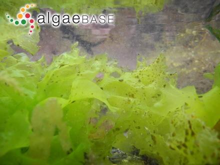 Leptosarca dumontioides A.Gepp & E.S.Gepp