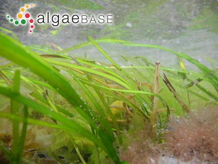 Leptosarca simplex A.Gepp & E.S.Gepp