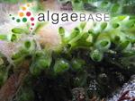 Codium fragile subsp. tomentosoides (Van Goor) P.C.Silva