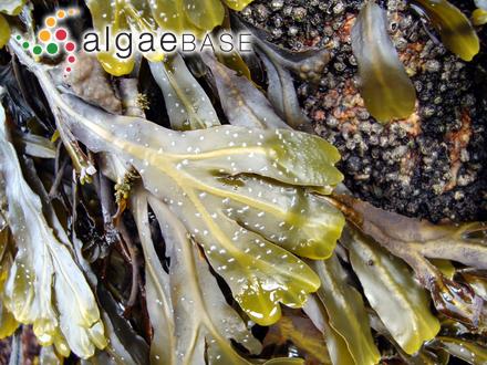 Delesseria spathulata Sonder