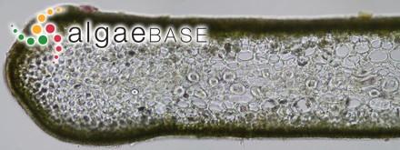 Polysiphonia mutabilis Harvey