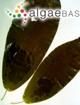 Laminaria purpurascens C.Agardh