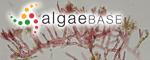 Acrochaetium naumannii (Askenasy) Askenasy