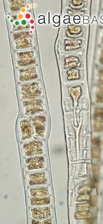 Bangia fuscopurpurea (Dillwyn) Lyngbye