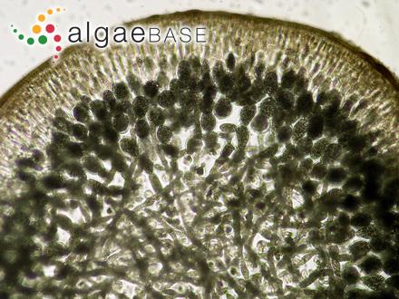Iridaea heterocarpa Postels & Ruprecht