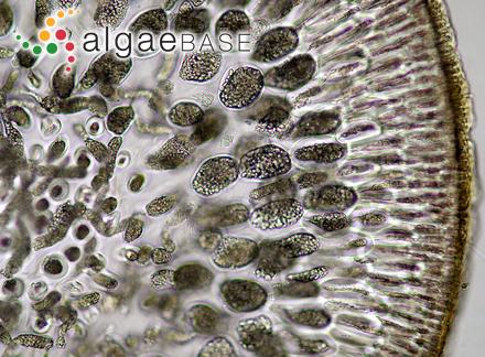 Rhodoglossum cobinae E.Y.Dawson