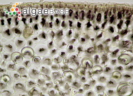 Hutchinsia corymbifera C.Agardh