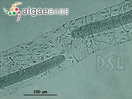 Lithophyllum tumidulum f. dispar Foslie