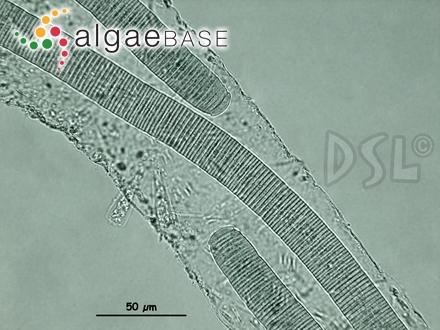 Fucus rosa-marina S.G.Gmelin