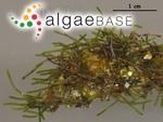 Cladophoropsis herpestica (Montagne) M.Howe