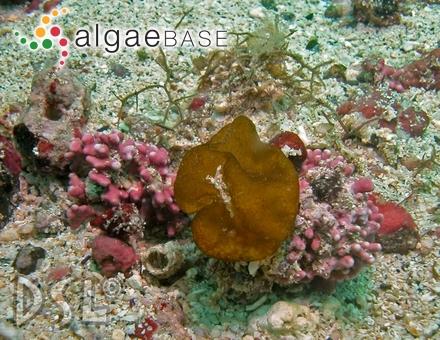 Costaria reticulata De A.Saunders