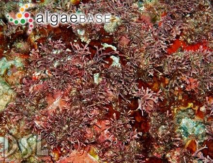 Pleonosporium codicola E.Y.Dawson
