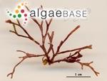 Amphiroa magdalenensis E.Y.Dawson