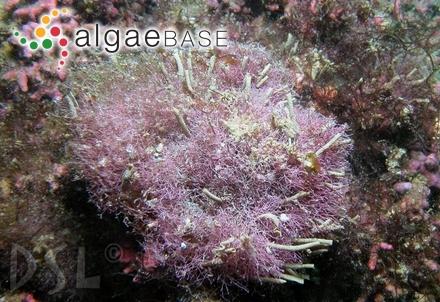 Zonaria kunthii C.Agardh