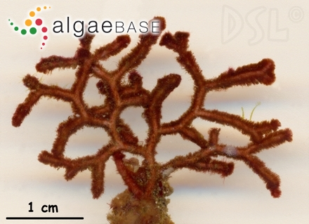 Nitophyllum decumbens J.Agardh
