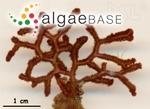 Dichotomaria rugosa (Ellis & Solander) Lamarck